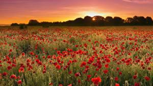 Фотография Рассветы и закаты Поля Маки Много Природа