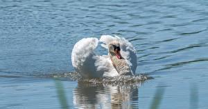Фотография Лебедь Птицы Воде Белых Плывущий