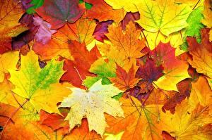 Фотографии Текстура Осень Листья Клёна Природа
