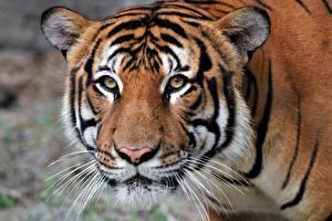 Обои для рабочего стола Тигры Морда Взгляд животное