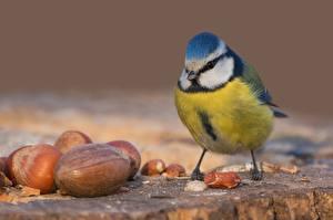Фото Синицы Птицы Орехи Вблизи Животные