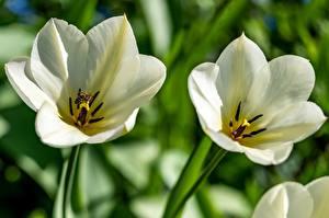 Обои Тюльпан Пчелы Насекомые Белый цветок