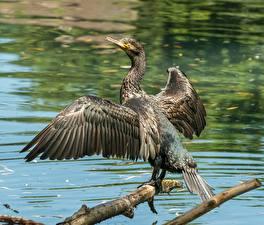 Фотография Птицы Ветки Крылья Cormorant