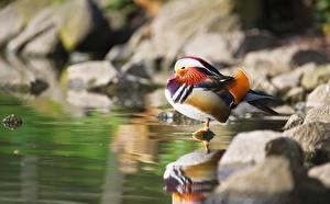 Картинки Птица Утка Камень Боке Mandarin duck животное