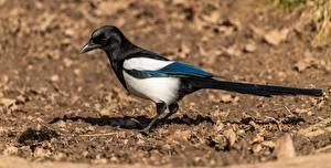 Фотографии Птицы Сорока Боке