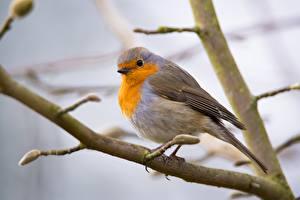 Картинка Птицы На ветке Размытый фон European robin, Zoryanka