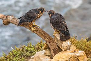 Фото Птица Сокол На ветке Двое Peregrine Falcon животное