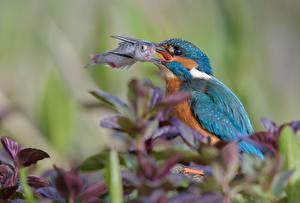 Фотография Птицы Рыба Обыкновенный зимородок Охота Животные
