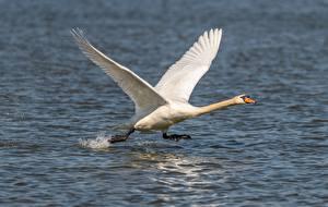 Фотографии Птицы Лебеди Вода Взлетает Белый Бег Животные