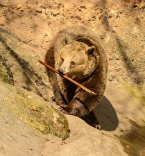 Обои Медведи Бурые Медведи