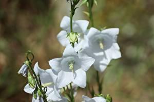 Фото Колокольчики - Цветы Крупным планом Белая Боке