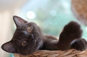 Фото Коты Размытый фон Головы Взгляд Лап Животные