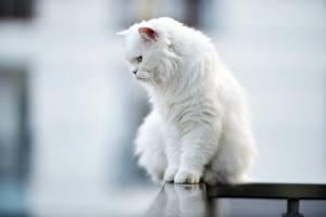 Обои Коты Размытый фон Сидит Белая Пушистые животное