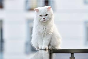 Картинки Кошка Размытый фон Сидящие Белая Взгляд