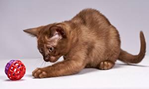 Фото Кошки Лапы Играют Шар Коричневый Burmese cat животное