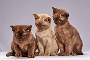 Обои Кошки Трое 3 Коричневый Burmese cat Животные картинки