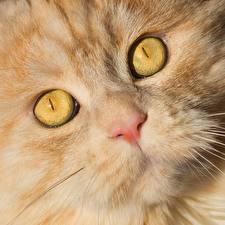 Фото Кошка Глаза Морды Носа животное