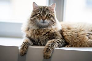 Картинка Кошки Смотрит Лапы Лежа животное
