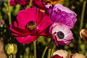 Картинки Крупным планом Маки Цветы