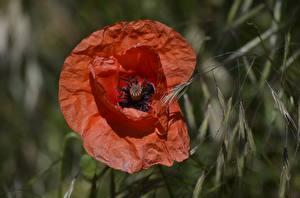 Фото Вблизи Мак Размытый фон Красная Цветы