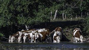 Картинки Побережье Корова Много Пьет воду животное