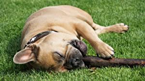 Фотографии Собака Французский бульдог Трава Лежит Лапы
