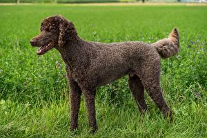 Фотография Собака Трава Сбоку Коричневые Пудель животное