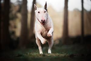 Картинки Собака Бегущая В прыжке Белый Бультерьер Животные