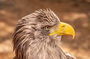 Картинки Орел Вблизи Птица Голова Сбоку Клюв White-tailed eagle Животные