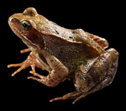 Фото Лягушка Крупным планом На черном фоне Common Frog Животные