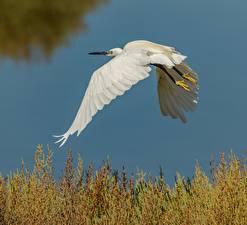 Картинки Цапля Птицы Белых Летит Животные