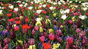 Обои для рабочего стола Гиацинты Нарциссы Тюльпаны Разноцветные цветок