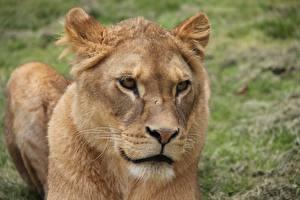 Фотография Львы Львица Взгляд Морда Животные