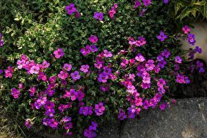 Обои Много Фиолетовый Aubretia цветок