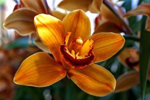 Картинки Орхидеи Вблизи Оранжевых