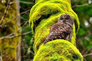Картинка Сова Птица Мхом Spotted owl Животные