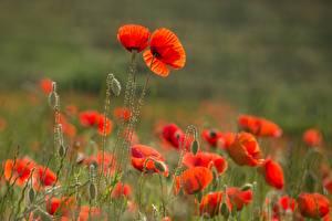 Фото Мак Боке Бутон Красная цветок