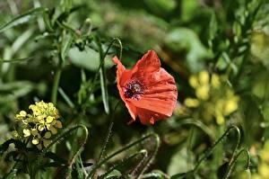 Обои Маки Крупным планом Красный цветок