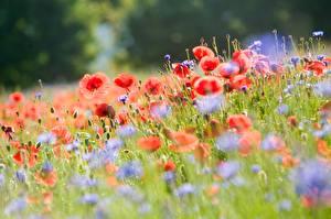 Картинка Маки Много Размытый фон цветок