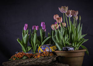 Обои Первоцвет Тюльпан Игрушка Цветочный горшок цветок