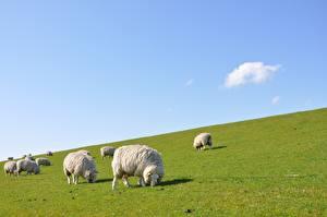 Фотография Овцы Много Луга Траве Стадо Животные