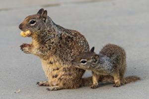 Картинка Белки Детеныши Орехи Вдвоем животное