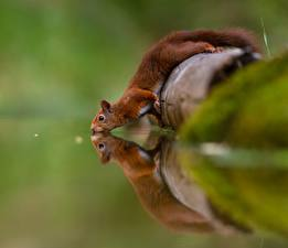 Фотографии Белки Воде Пьет воду Отражается Животные