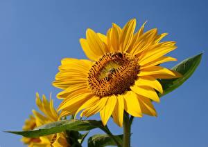 Картинка Подсолнечник Пчелы Насекомые Желтая цветок