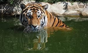 Картинки Тигры Воде Смотрит животное