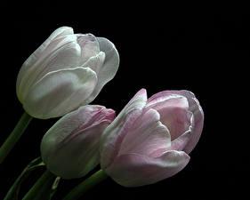 Фотография Тюльпан Вблизи На черном фоне Трое 3 Цветы