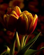 Фотографии Тюльпаны Крупным планом Вдвоем Цветы