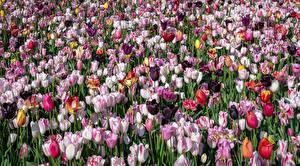Фотографии Тюльпаны Много Разноцветные Цветы