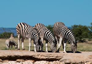 Фотография Зебра Три Пьет воду животное