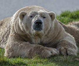 Фотография Медведь Северный Морда Лап